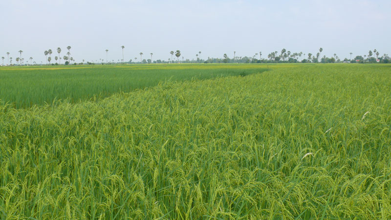 cambodia-rice-paddy.jpg